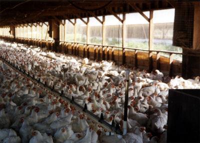 chickenfactory-farm